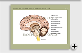 Anatomy of the Brain: Sagittal View